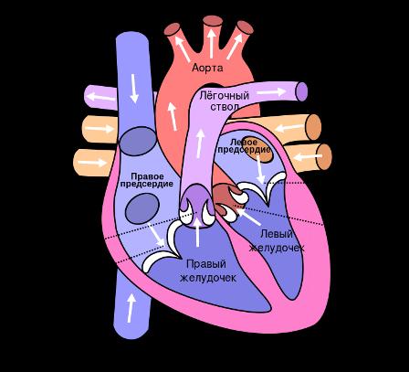 Схема: сердце человека
