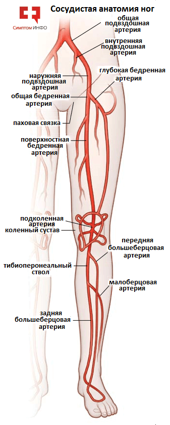 Трофика тканей коленного сустава